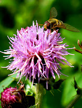 Photo: Hoverfly on Thistle