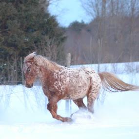 by Mandy Schram - Animals Horses (  )