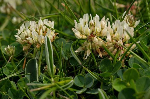 Trifolium occidentale