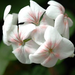 by Alnia Furwani Maulina - Flowers Tree Blossoms (  )