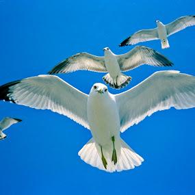 by Thomas Lane - Animals Birds (  )