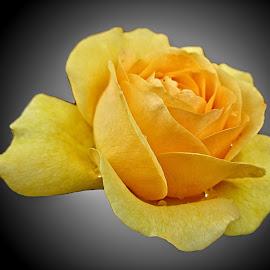 OLI rose 18 by Michael Moore - Flowers Single Flower (  )