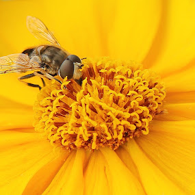 Hoverfly by Michael Velardo - Animals Insects & Spiders ( hoverfly, nature, cosmos flower, yellow cosmos, insect, yellow daisy, flower,  )