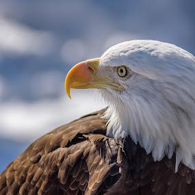 Eagle Lookout by John Sinclair - Animals Birds ( eagle, nature, wildlife, raptor, eagle raptor )