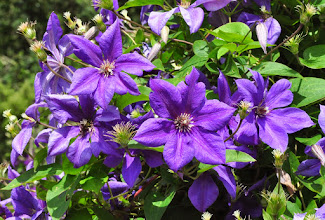 Photo: Clematis Caddick's Cascade 3