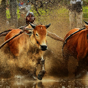 Cow race by Muhasrul Zubir - Novices Only Sports