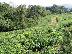 Photo: Tea plantations...