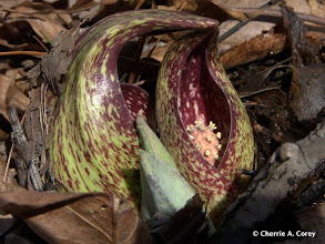 Photo: Touching - Skunk Cabbage