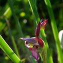 Tongue-orchid (Σεράπια η γλωσσόμορφη)
