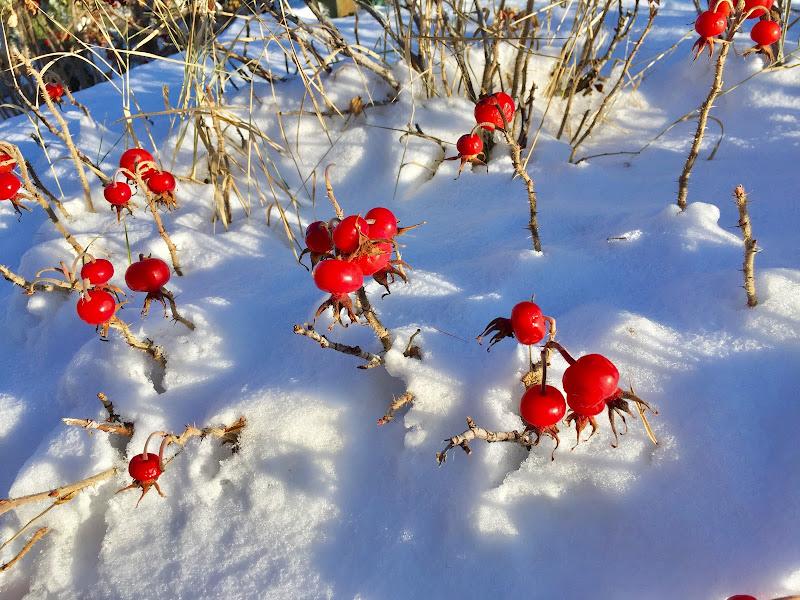 Bacche vermiglie nella neve di  Antonella Giuliani