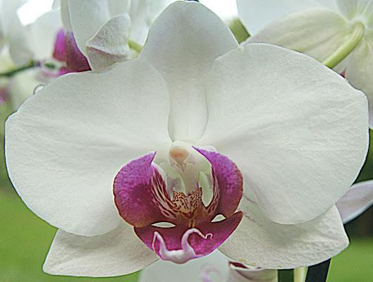 Orchidea di danilo56