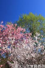 Photo: 拍攝地點: 梅峰-梅楓園 拍攝植物:櫻(粉色 富士櫻)與暖地櫻桃(白色)與臺灣赤楊(綠色) 拍攝日期:2013_02_15_FY