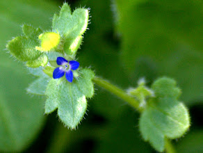 Photo: Veronica acinifolia L.