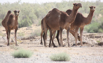 Photo: Day 160 - Herd of Camels