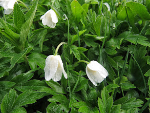 Photo: Woodhouse Lane These Wood Anemones [Anemone nemorosa] are, unusually, growing on the verge of Woodhouse Lane. They are usually associated, as their name implies, woods: the early flowering allows them to exploit the sunlight before the new leaves shade the ground (Ed Wilson)