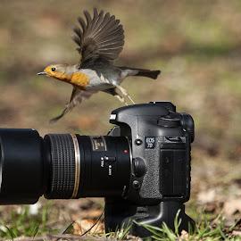 Robin  by Nando Scalise - Animals Birds