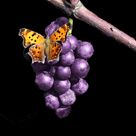 by Vicki Switala Riley - Food & Drink Fruits & Vegetables ( green, black background, bunch or grapes, yellow, black, brown, branch, orange, landing, butterfly, purple, vine, grapes,  )