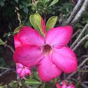 Desert Rose (Rose du desert)