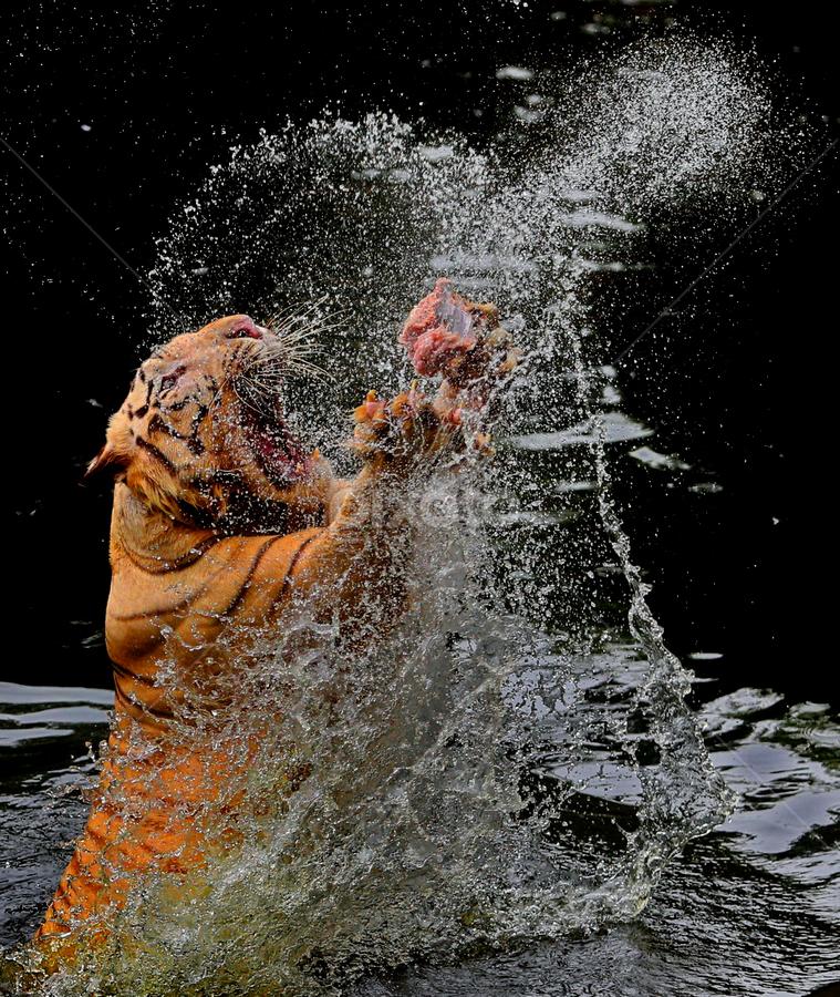 by DODY KUSUMA  - Animals Lions, Tigers & Big Cats