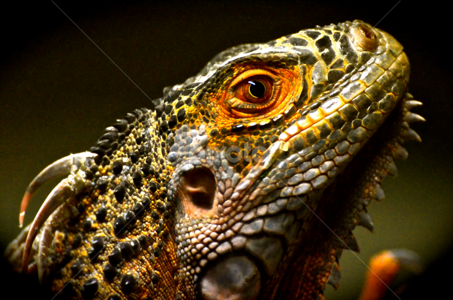 Zoo Dragon5 by Mauritz Janeke - Animals Reptiles ( zoo, dragon, mauritz, abu dhabi, reptile,  )
