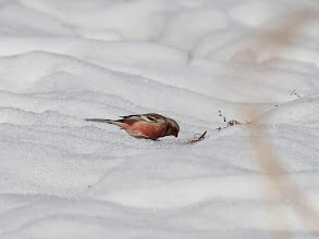 Photo: 撮影者:佐藤哲郎 ベニマシコ タイトル:雪上の採餌 観察年月日:2014.2.22 羽数:♂1羽 場所:浅川大和田橋下流右岸 区分:希少 メッシュ:八王子8J コメント:2月定期カウント時に観察。ベニマシコ♂が、雪上にわずかに出ている草の実を食んでいた。白い雪に赤い体が映える。