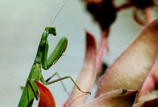Photo: La mante religieuse vient de repérer un minuscule insecte sur le bord d'une feuille.Approche.