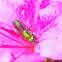 Augochlora Sweat Bee
