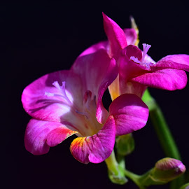 beautiful pink freesia flower by LADOCKi Elvira - Flowers Flower Gardens ( garden plants floral flower nature )