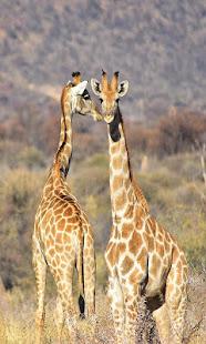 Giraffe2 wallpaper - náhled