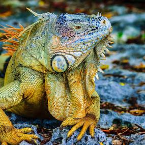 by Matthew Goldsworthy - Animals Reptiles ( nature, cozumel, 2016, iguana, 5x7, matt's )