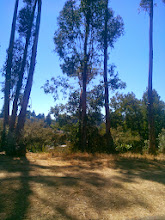 Photo: Native, water conscientious trees being suppressed by the eucalyptus.