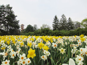 Photo: Field of daffodils overlooking the lookout tower at Cox Arboretum in Dayton, Ohio.
