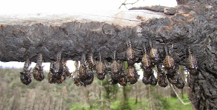 Photo: Pleasing Fungus Beetle pupae hanging from a branch.