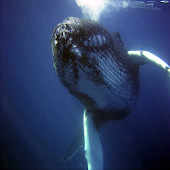 Humpback Whale cry