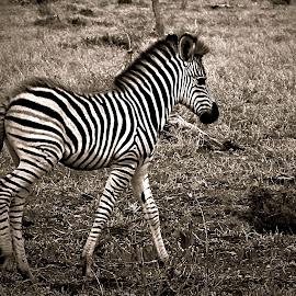 Baby Zenra by Pieter J de Villiers - Black & White Animals
