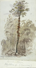"""Photo: Watercolour painting of a flowering Polyalthea tree in Sarawak by Wallace in 1855. First published on this website in 2010. The illustration """"Remarkable forest trees"""" in Wallace's book The Malay Archipelago includes this image. Copyright of scan and owner of Publication Right: A. R. Wallace Memorial Fund."""