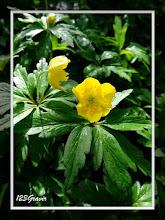 Photo: Anémone fausse renoncule, Anemone ranunculoides
