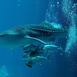 whale shark 4.jpg