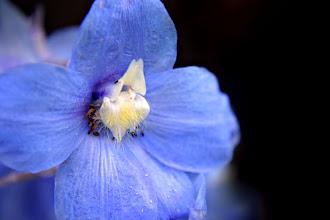 Photo: Delphinium - prints & cards here - http://www.inspiraimage.com/index.php/gallery/flowers/202-blue-delphinium