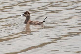 Photo: Ruddy Duck, female, (Schwarzkopfruderente); San Miguel de Allende, GTO