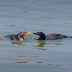 Double-crested cormorant (fishing and sharing food)