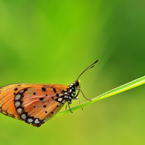 On the Reed by Irfan Marindra - Animals Insects & Spiders ( butterfly,  insects,  macro )