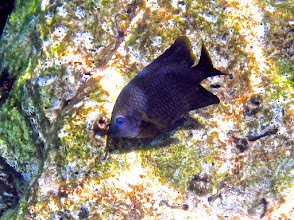 Photo: black damselfish