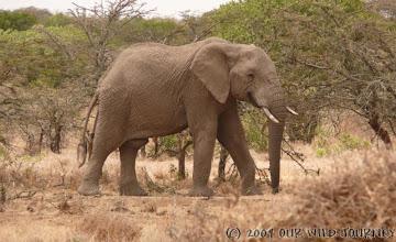 Photo: Další clen africké rodiny - slon / Another part of african family - Elephant.