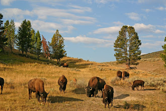 Photo: Bison in Yellowstone National Park, Wyoming