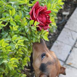Cola... by Mariesa Taljaard - Animals - Dogs Puppies ( doggie, pup, dog portrait, puppy, dog,  )