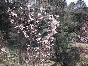 桜もほころび
