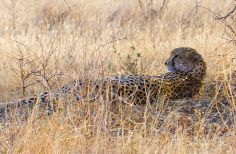 Photo: This Cheetah was breathing hard when we found him. He had just been on a chase and came up short.