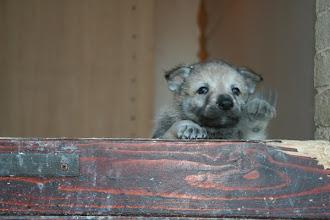 Photo: aiko sibillini wolf