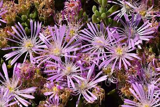 Photo: Mesembryanthemum sp.